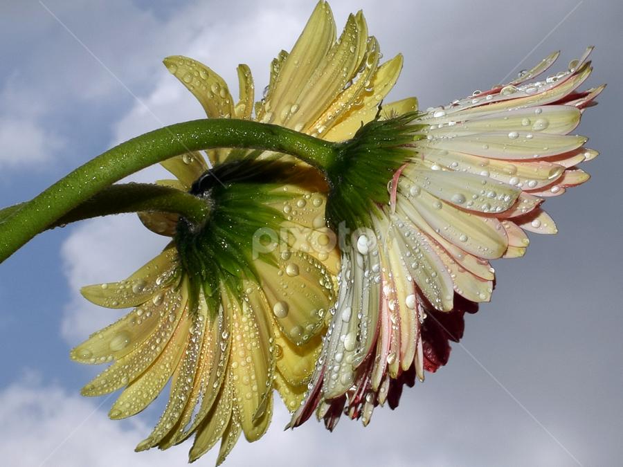 twoo gerbers by LADOCKi Elvira - Flowers Flower Arangements ( flowers, garden,  )