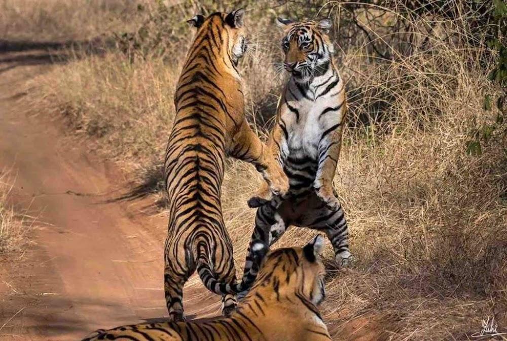 ranthambore-wildlife-image