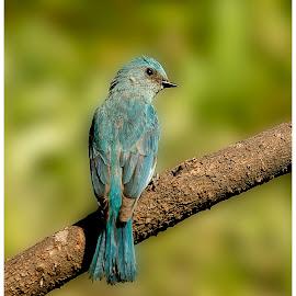 Veriditor flycatcher by Suraj Ramamurthy - Animals Birds ( #flycatcher, #sattal, #birds, #uttarakand, #veriditor )