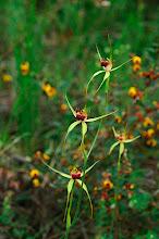 Photo: Caladenia procera