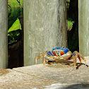 Guaiamu (Blue land crab)