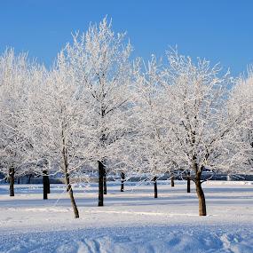 Frost by Nadezda Tarasova - Landscapes Weather ( pwcwinter, sky, winter, park, snow, white, frost, trees, sunshine, landscape, hoarfrost )