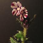 Greek Bugloss, βοΐδόγλωσσα