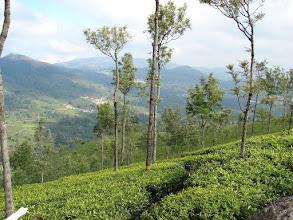 Photo: 7B220944 na plantacji herbaty