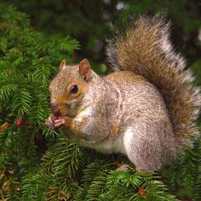 Squirrel eating by Trippie Visser - Animals Other ( tree, eating, fur, tail, squirrel )