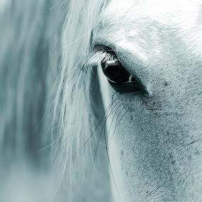 blue boy by Chrysta Rae - Animals Horses ( horse, equestrian, animal, horse face, horse eye,  )