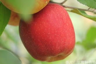 Photo: 拍攝地點: 梅峰-蘋果園 拍攝植物: 蘋果(德蘋) 拍攝日期: 2015_10_05_FY