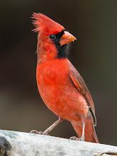Photo: Northern Cardinal Colors