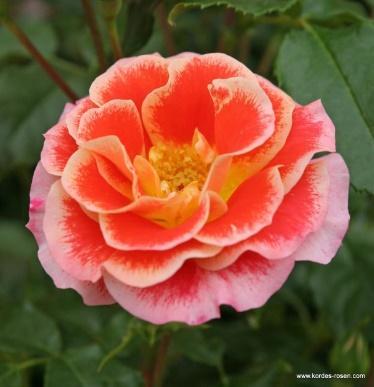 Airbrush® | Floribunda Roses | Shop By Type | Garden roses | Rosen-Kordes