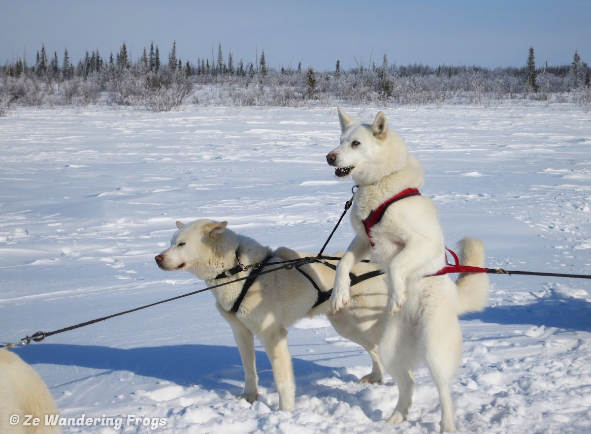Arctic Canada Inuvik Winter Camping Tundra Dog Sledding // Pippa expressing her impatience in getting her lunch