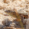 Nevada Side-blotched Lizard