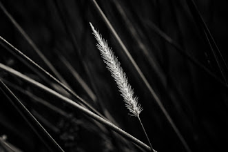 Photo: for a fleeting moment the winds stilled and all was quiet peace... if only for a moment  #bwphotography  #grasspoker  #plants  #monochrome  #poetsocietyofphotography