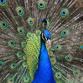 Peacock Displaying by Jon Sellers - Animals Birds