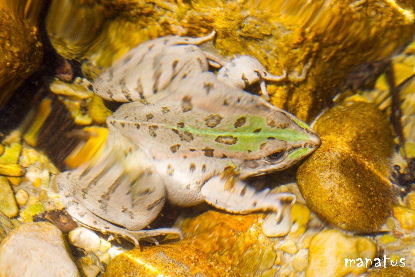 rana bajo el agua