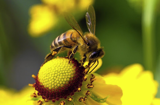 Essential contribution:  Pollination is needed for plants to reproduce and while almost any insect can carry out pollination, bees are vital for crop production. Local experts say that SA's insect prognosis is not as dire as that in Germany — although there are no data to back that up.     Picture: 123RF/ALEXEY UKHOV