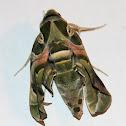 Oleander Hawk Moth (AKA Army Green Moth)