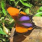 Purple-stained Daggerwing Butterfly