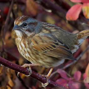 Song Sparrow by Nick Swan - Animals Birds ( fall, nature, sparrow, autumn, wildlife )