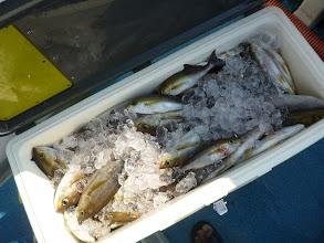 Photo: タムラさんの釣果! クーラー満タン!
