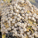 Montagu's stellate barnacle