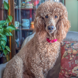 Be My Valentine by Bill Gordon - Animals - Dogs Portraits ( poodle, apricot standard poodle )