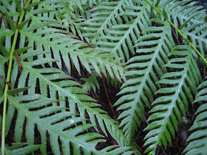 Photo: Ferns Along The Griffin Loop Trail