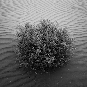 Desert Bush by Salman Ahmed - Black & White Flowers & Plants ( sand, dunes, desert, nature, black and white )