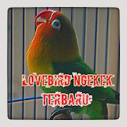 MASTER LOVEBIRD NGEKEK