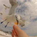 Laughing Gull - winter plumage