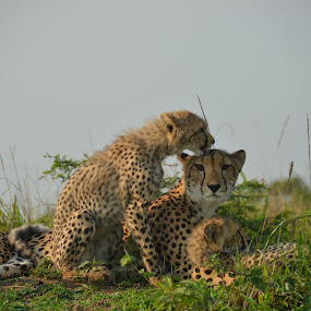 Cheetahs, Phinda game reserve, South Africa by Bill Frank - Animals Lions, Tigers & Big Cats