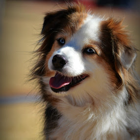 Mini Ausie by Christil-Photography Bloemfontein - Animals - Dogs Portraits ( north american shepherd, head tilt, puppy face, minature australian shepherd, cute, agility )