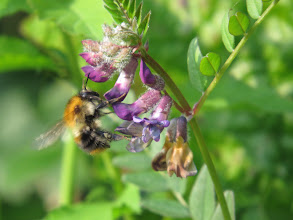 Photo: 25 Jun 13 Woodhouse Lane: Bee nectaring at a vetch sp. (Ed Wilson)