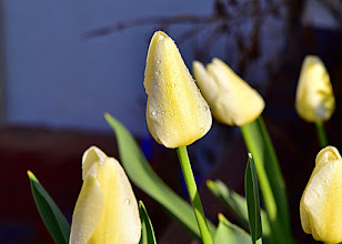 Photo: my tulips at home,the day before