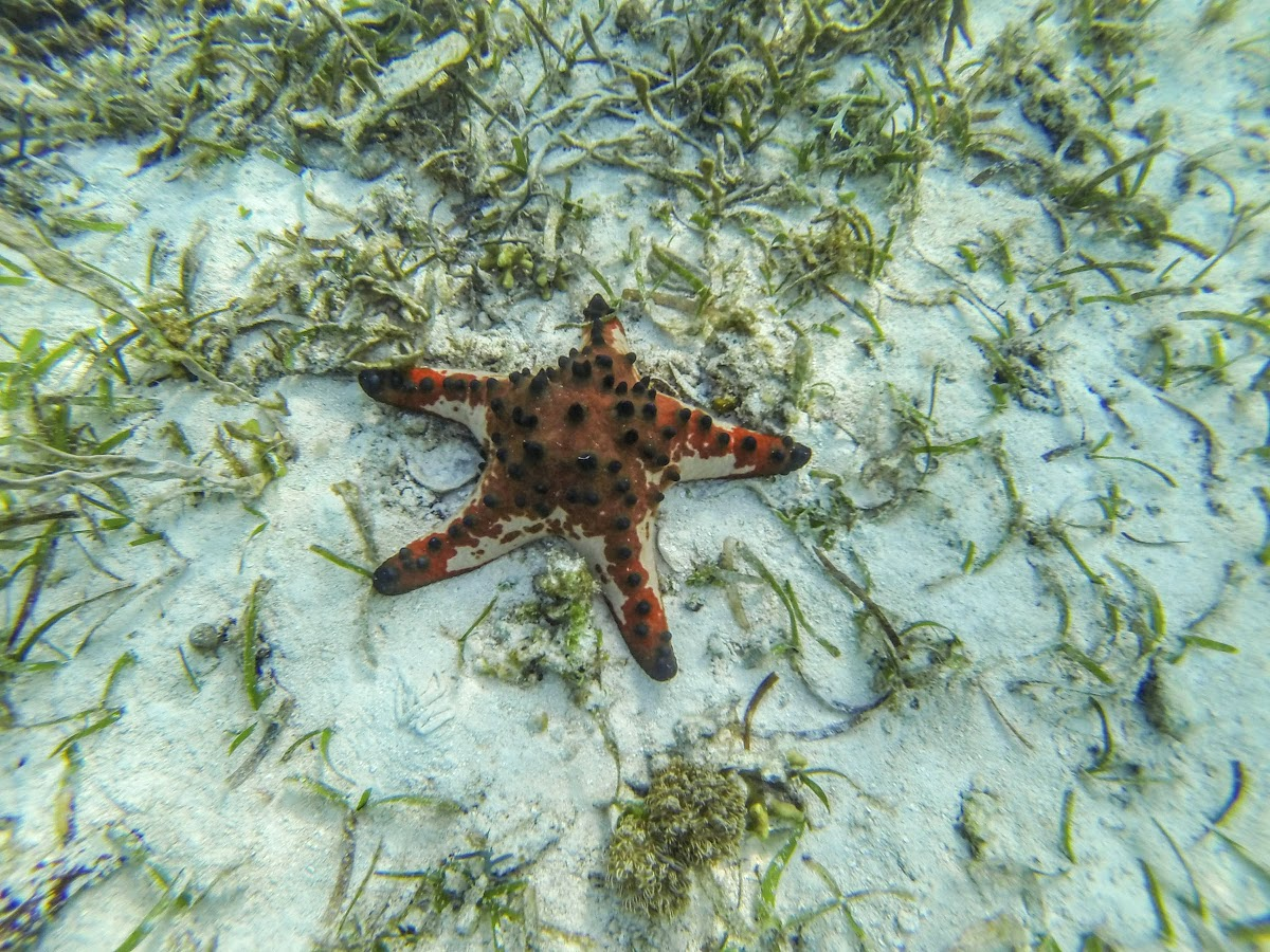 Top. Dive Sites, Kri Island, Raja Ampat, Papua. Chocolate Chip Sea Star