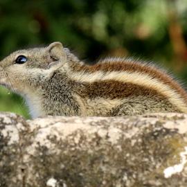 Squirrel by Vivek Sharma - Animals Other Mammals ( vivekclix, close up, squirrel, nature, mammal, animal )