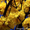 Corteza amarilla
