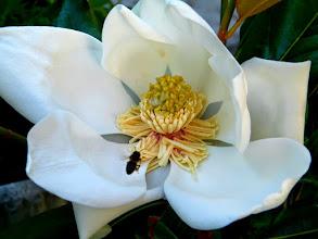 Photo: La première fleur épanouie de mon magnolia et tout de suite une abeille arrive ! 27.06 - 9 h.