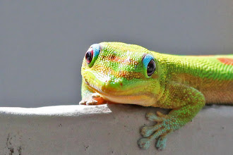 Photo: Gold-dust Gecko