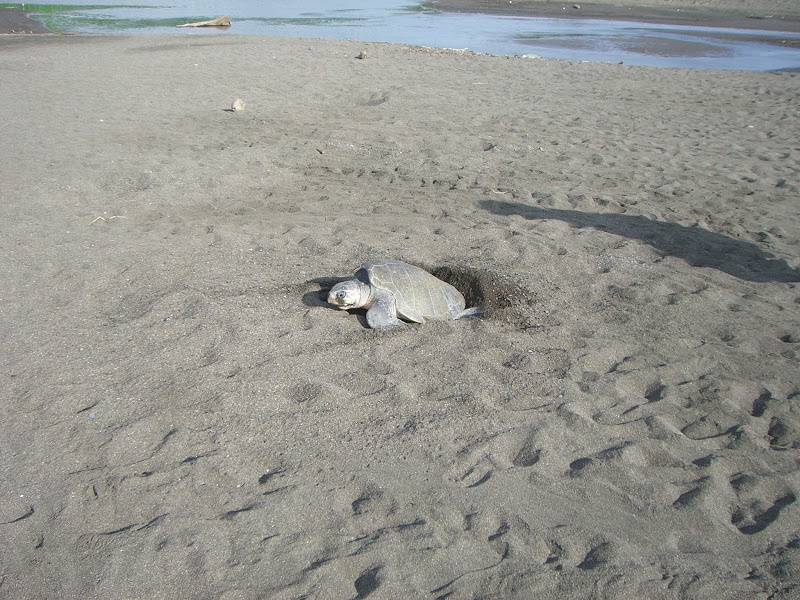 Photo: Olive Ridley Turtle in middle of digging nest