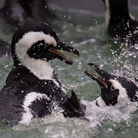 Penguin fight by Dawie Nolte - Animals Other ( water, fight, sea, penguin, penguins, fighting, sea birds, birds )