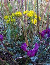 Photo: Purple pea and Lomatium, Steens Mountain