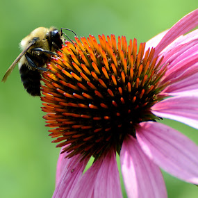Nature at Work by Andrea Silies - Nature Up Close Flowers - 2011-2013 ( bumble bee, bee, bug, coneflower, insect, flower )