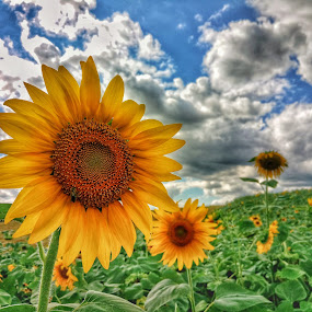 Sunflower by Dražen Pintar - Instagram & Mobile Android ( clouds, green, sunflowers, sunflower, sun,  )
