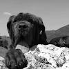Casse-tête de mastiff napolitain APK