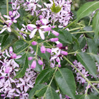 Chinaberry blooms