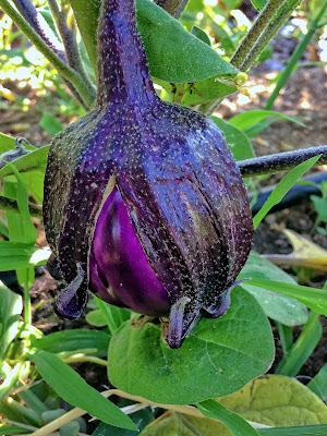 starry eggplant  di GVatterioni