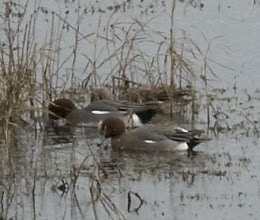 Photo: Group of Wigeon Nikon D80