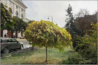 Photo: Arborle trompeta, Catalpa Bungei - din Turda,  Piata 1 Decembrie 1918 - 2018.10.19