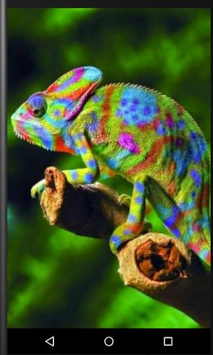 Kool Chameleon Pics
