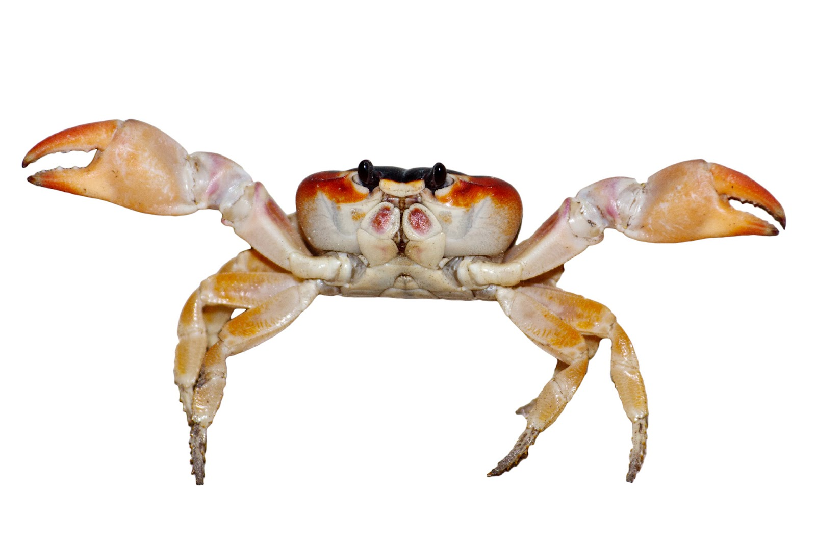 http://www.publicdomainpictures.net/pictures/30000/velka/crab-isolated.jpg